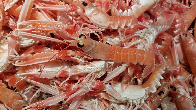 Lorient, premier port de débarquement de langoustines vivantes