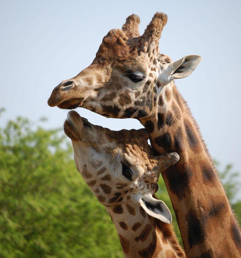Une famille de girafe au zoo de Pont Scorff