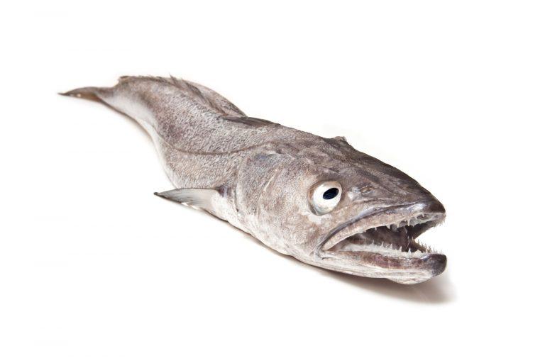 Le merlu vu de face