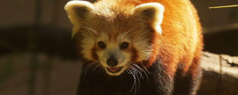 Un panda roux au zoo de Pont Scorff