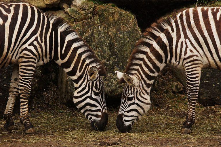 Des zèbres du Zoo de Pont Scorff