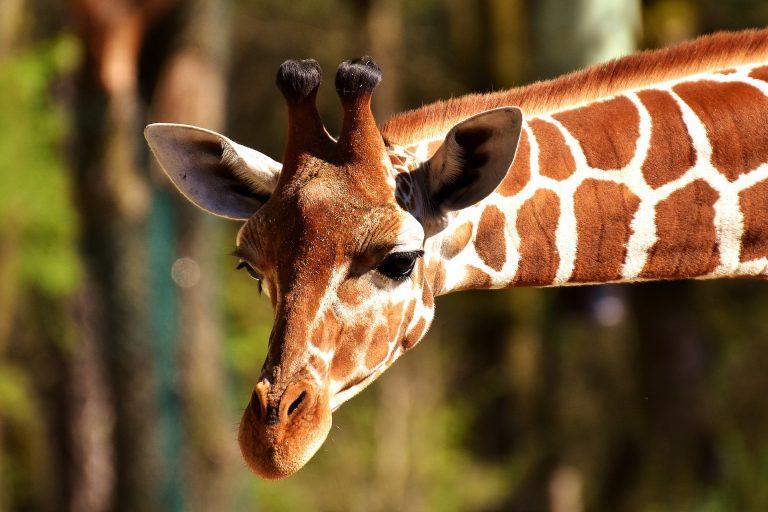 Girafe au zoo de Pont-Scorff.