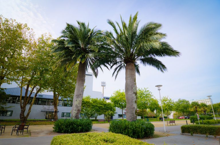 Les deux palmiers du Chili de plus de 150 ans, dans les jardins du Grand Théâtre à Lorient.