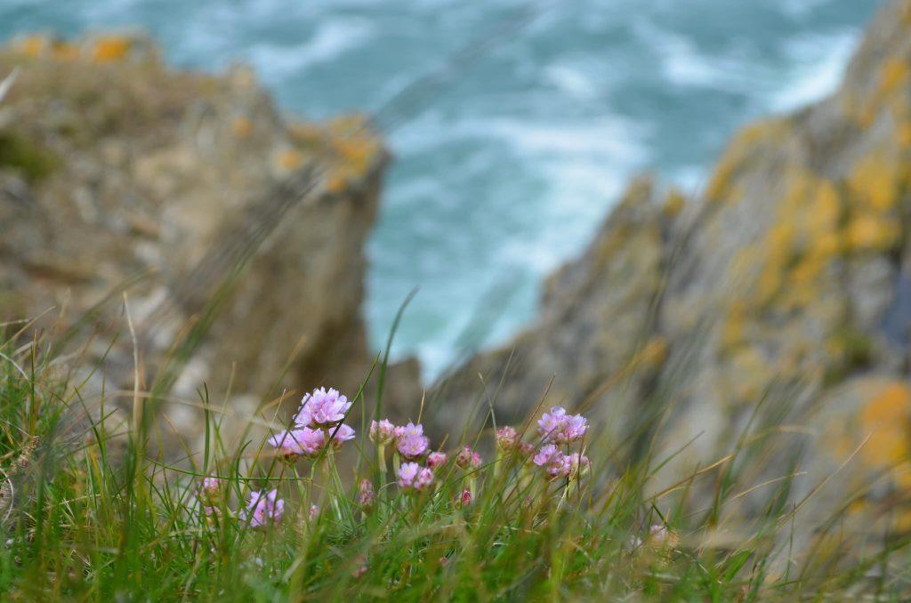 Armérie Maritime à la pointe de Pen Men, réserve naturelle de l'île de Groix