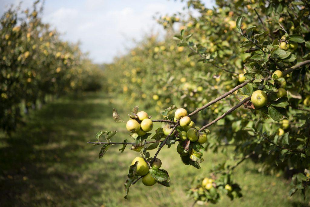 Guidel, pommes du Verger de Kermabo
