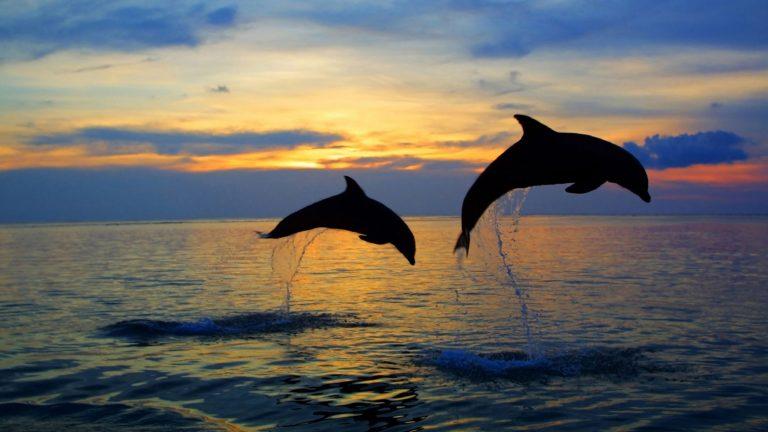 Saut des dauphins au large de l'île de Groix