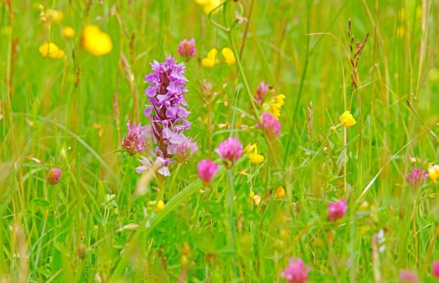 Les fleurs des prairies de la Ria d'Etel au printemps.
