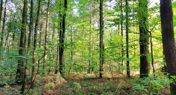 Inguiniel- Berné, arbres dans la forêt de Pont Calleck