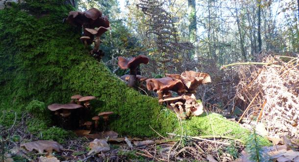 Inguiniel- Berné, champignons au pied d'unarbre dans la forêt de Pont Calleck