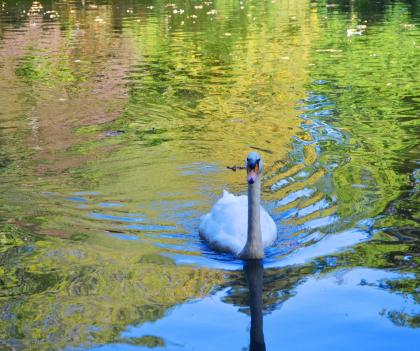 Hennebont, cygnes à l'étang du Parc de Kerbihan