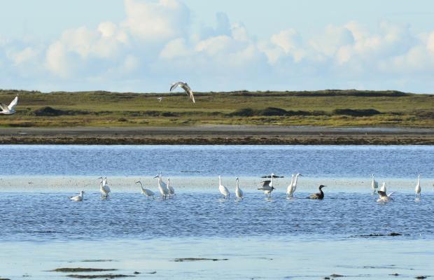 Aigrettes et oiseaux marins de la petite mer de Gâvres