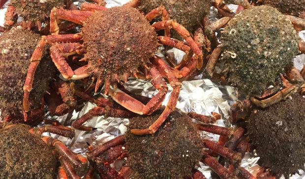 Araignées de mer pêchées à Lorient Bretagne Sud.