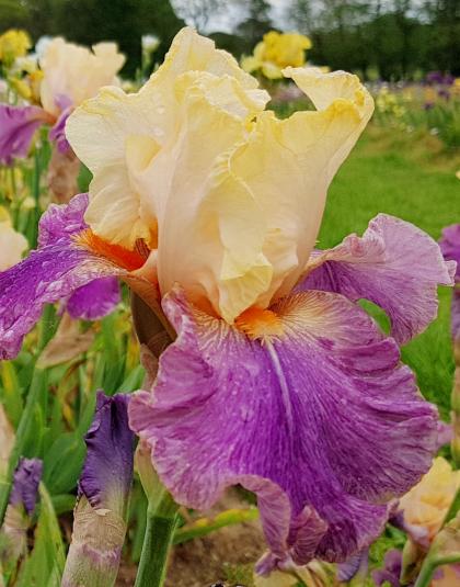 Le Jardin d'Iris - champs d'iris ouvert en mai