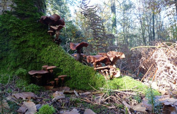 © C. LE BAIL. Forêt de trémelin. champignons. Inzinzac-Lochrist.