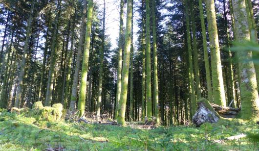 La Cardonière, Pins dans la forêt de Trémelin à Inzinzac-Lochrist