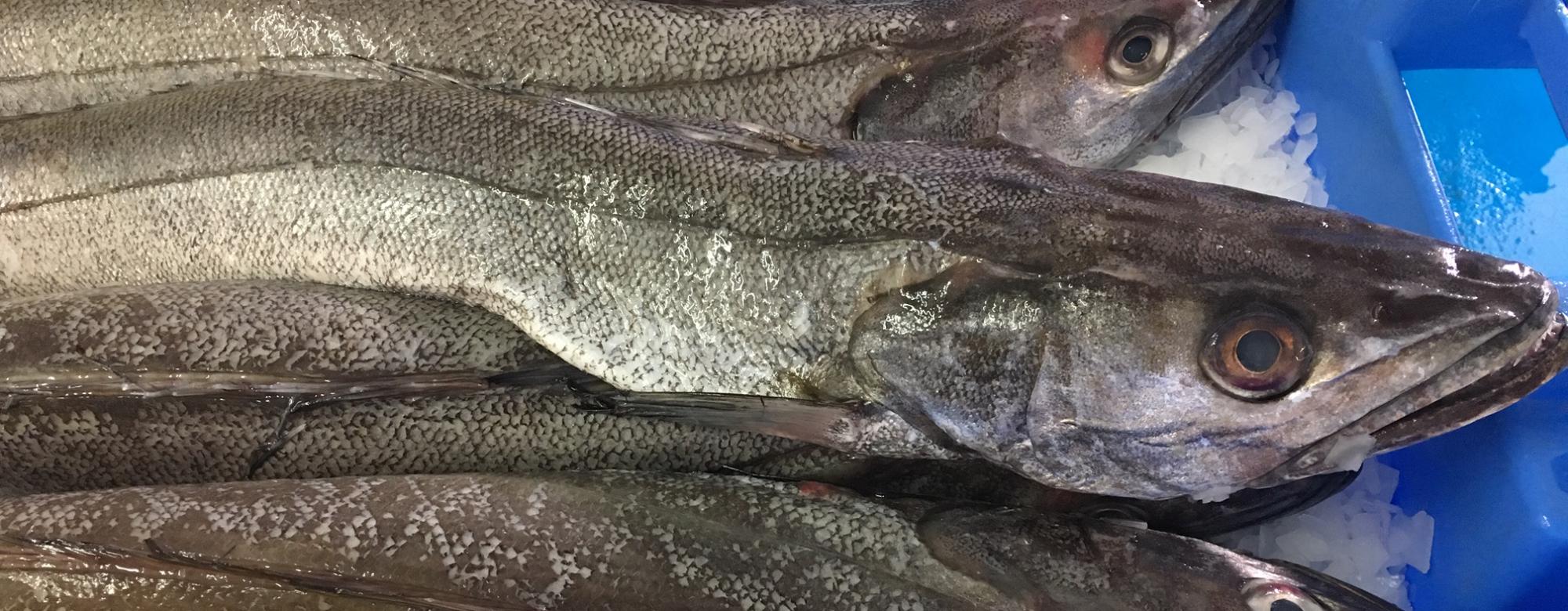 Port de pêche de Lorient, colin merlu