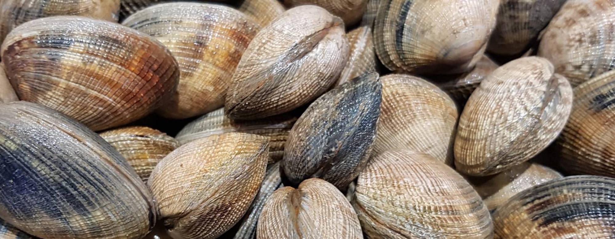Pêche à pied dans la petite mer de Gâvres coquillage la palourde