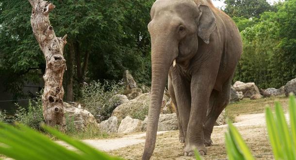 Un éléphant se promène au Zoo de Pont Scorff