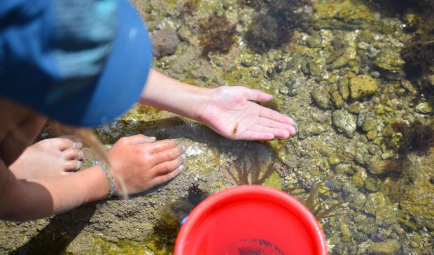 Pêche à pied à Groix , petite crevette rose dans la main