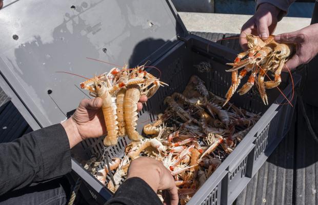 Port de pêche de Lorient, arrivage de langoustines