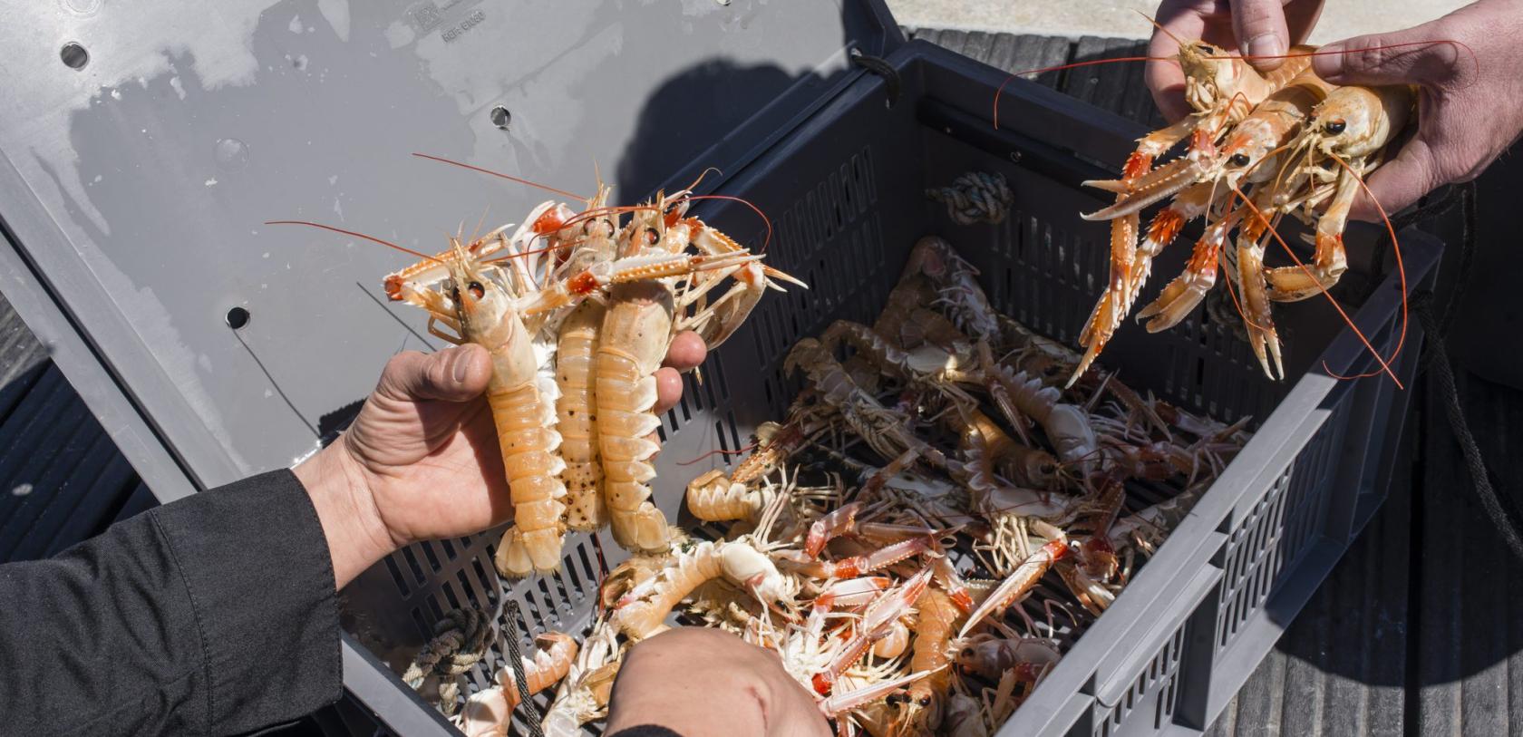 Arrivage de belles langoustines au Port de pêche de Lorient