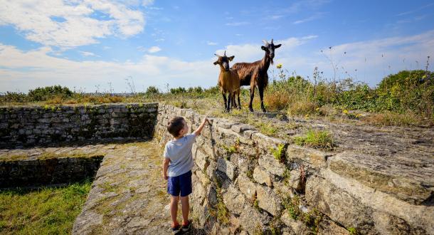 Locmiquélic, des chèvres au Fort de Pen Mané