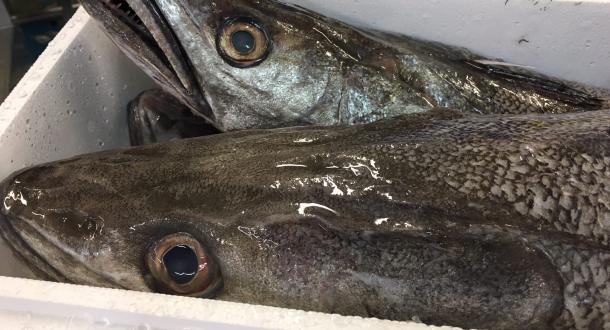 Merlu fraîchement débarqué au port de pêche de Lorient-Keroman.