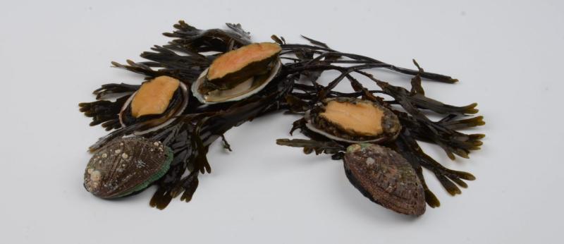 Présentation d'ormeaux avec leurs algues