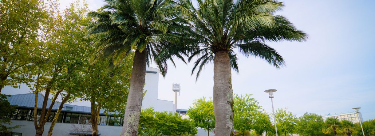 Les deux palmiers du Chili, vieux de 150 ans, dans le jardin du Grand Théâtre à Lorient.