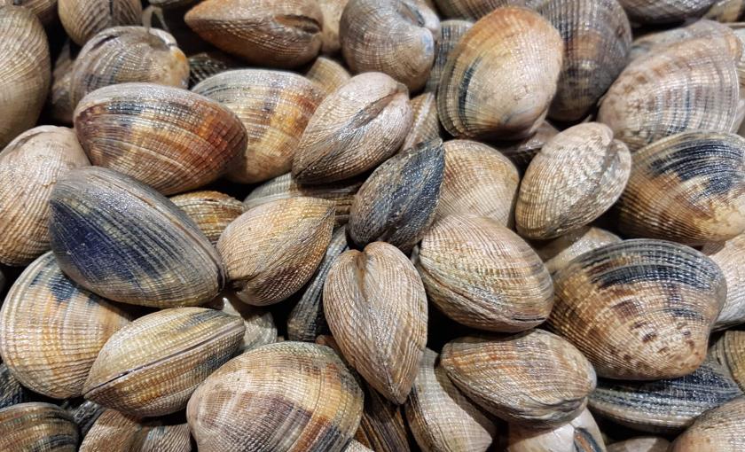 Palourdes issues de la pêche à pied à Lorient Bretagne Sud.