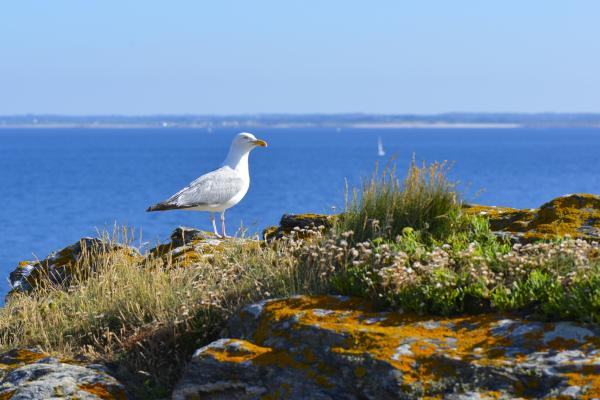 Goéland argenté au phare de Pen Men à l'Ile de Groix.