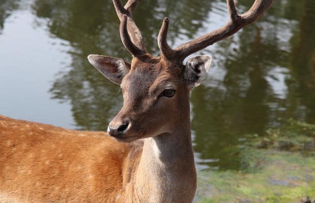 Berné, un chevreuil en forêt de Pont Calleck