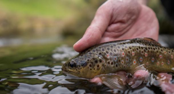 Pêche d'une truite brune dans la rivière du Scorff.