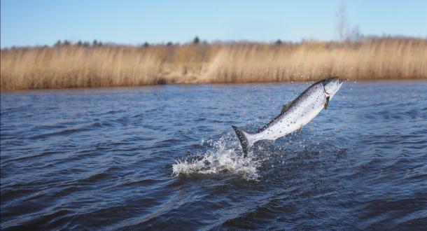 Saut d'un saumon dans la rivière.